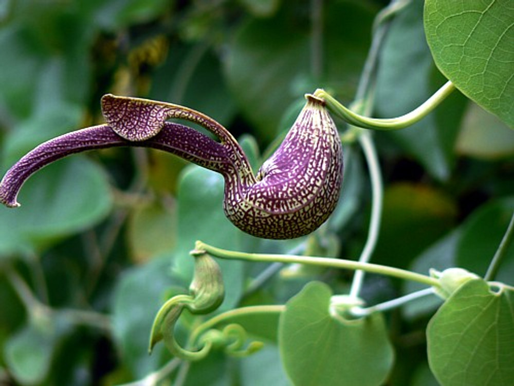 Gaping Dutchman's Pipe 10 Seeds - Aristolochia ringens