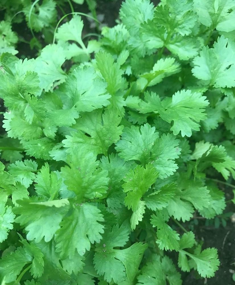 Cilantro Herb 100 Seeds -Coriander