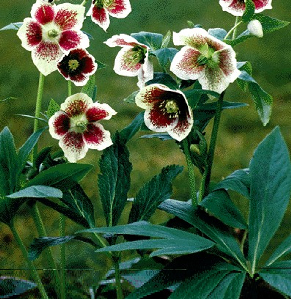 Helleborus Spotted White Lady 4 Seeds - Perennial