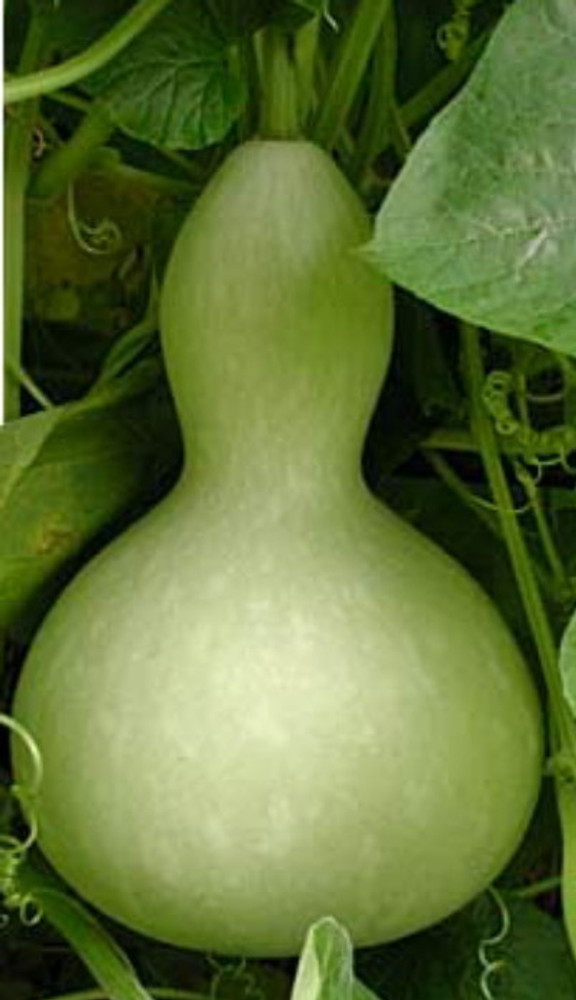 Baby Bottle Gourd - 20 Seeds