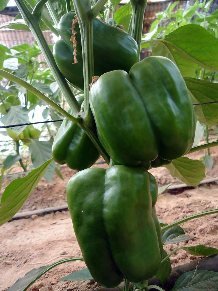 Lady Bell Pepper - 10 Seeds - Sweet Bell