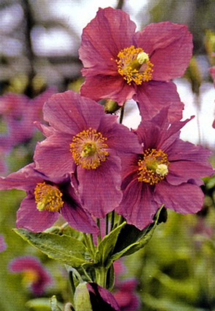 Hensol Violet Himalayan Poppy 20 Seeds - Meconopsis