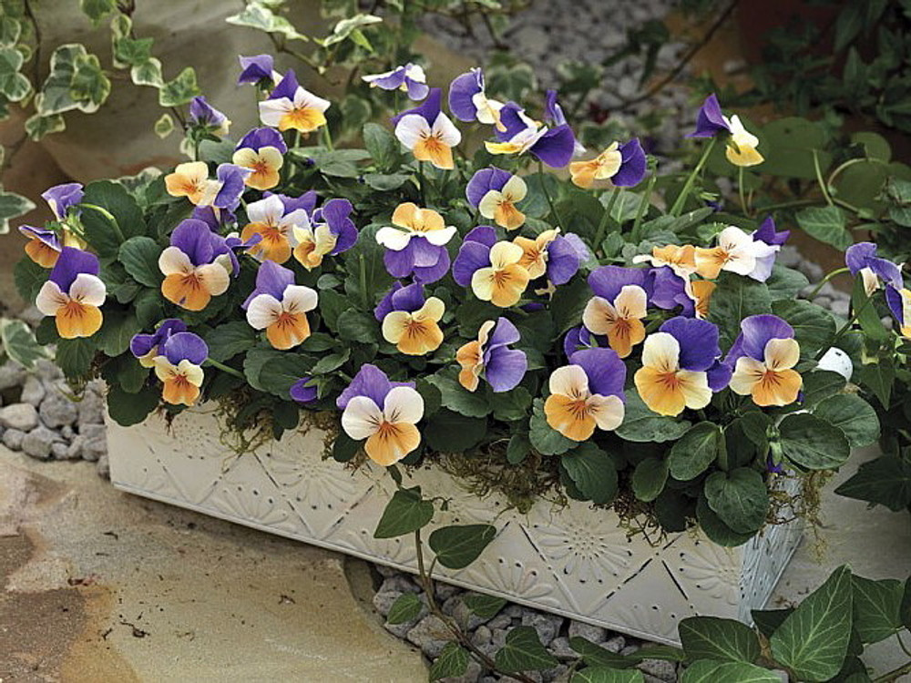 'Penny Peach Jump Up' Viola - 25 Seeds - Unusual Color!