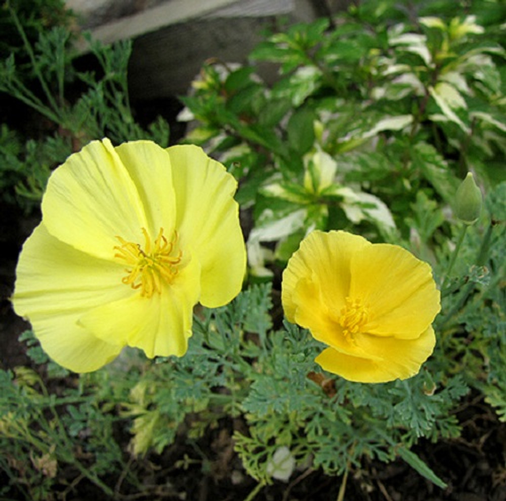 'Dairy Maid' California Poppy-150 Seeds-Vibrant Color!