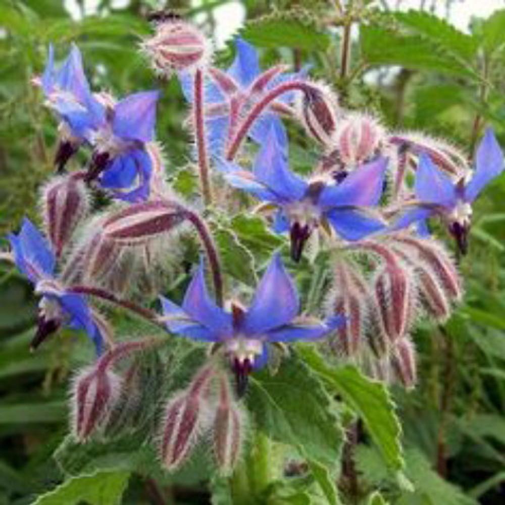 Borage Herb - 100 Seeds - Borage officinalis