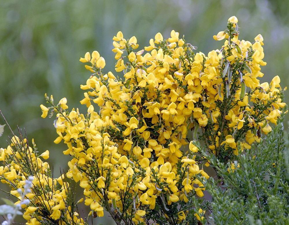 Scotch Gypsy Broom Perennial 50 Seeds - Cytisus