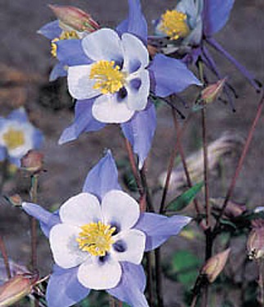 Blue Star Columbine 20 Seeds/Seed - Aquilegia