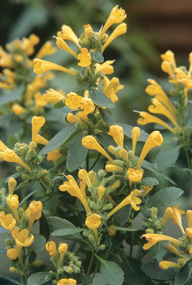 Arizona Sun Hummingbird Mint - Agastache - 10 Seeds