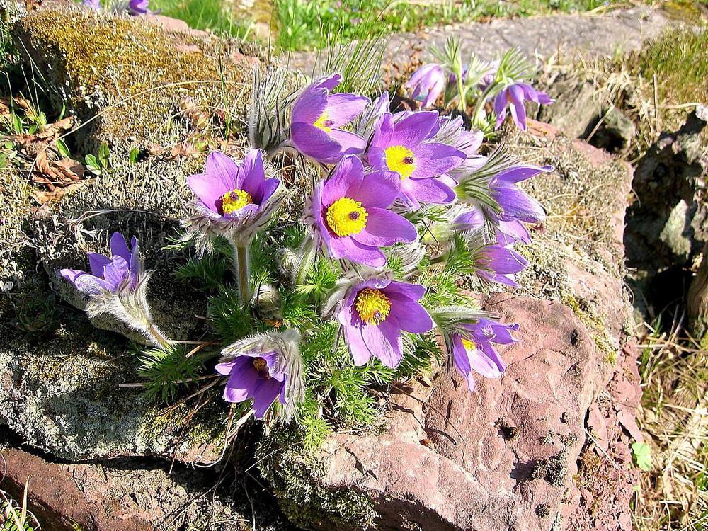 Turk Pasque Flower 15 Seeds - Pulsatilla - Shade Perennial