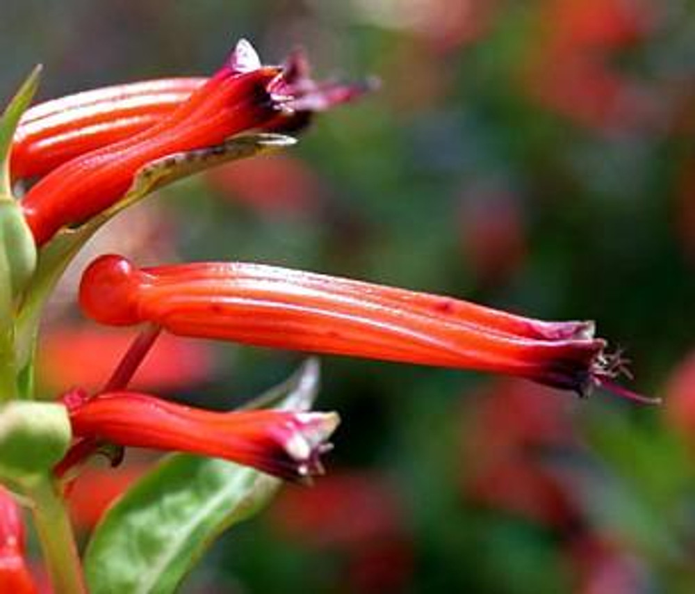 Cigar Plant 50 Seeds - Cuphea ignea - Indoors or Out