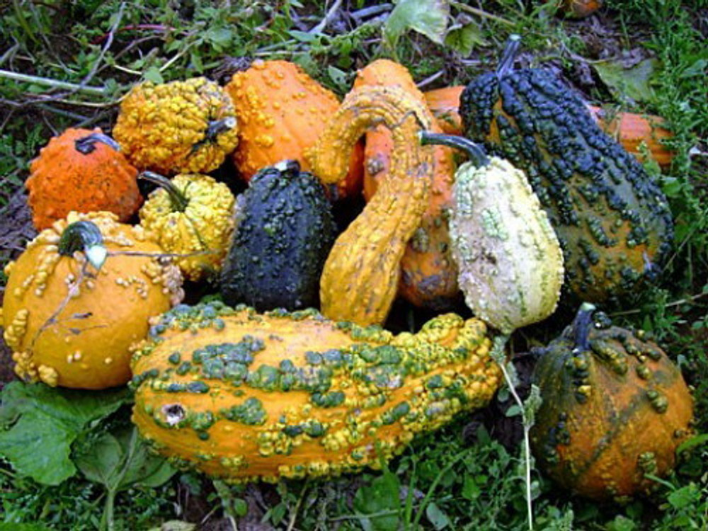 Lunch Lady Gourd 20 Seeds - Wild Mix of Gourds!
