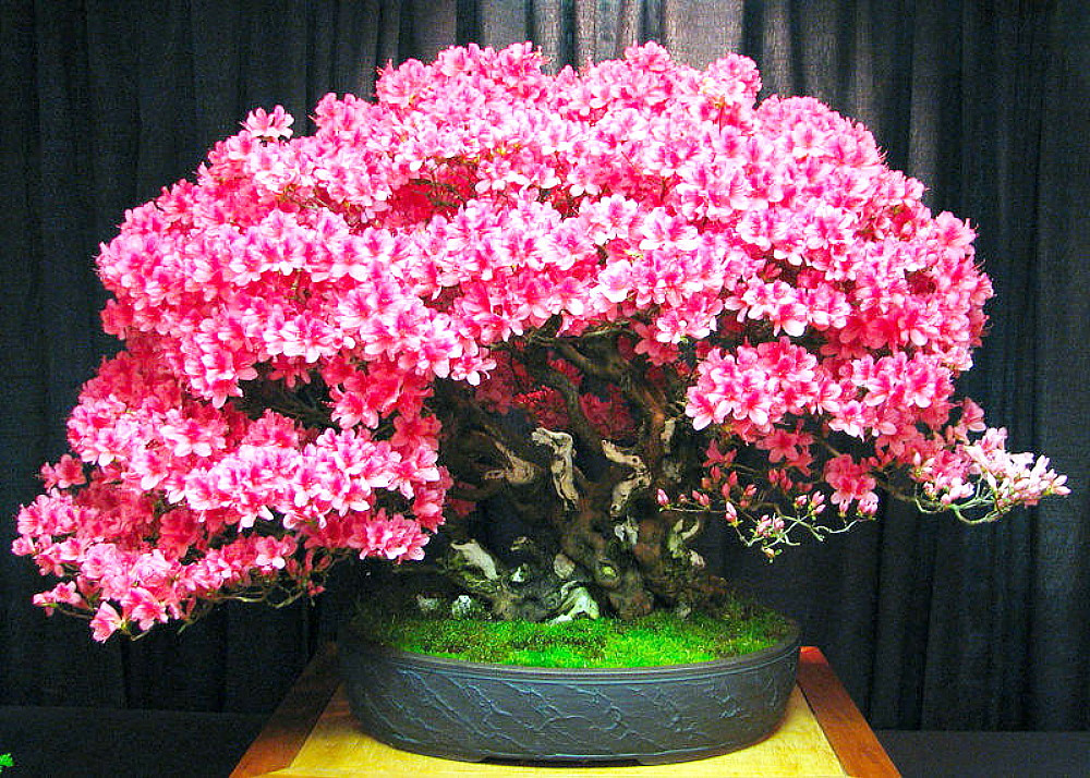 Chinese Redbud 20 Seeds - Cercis chinensis - Bonsai
