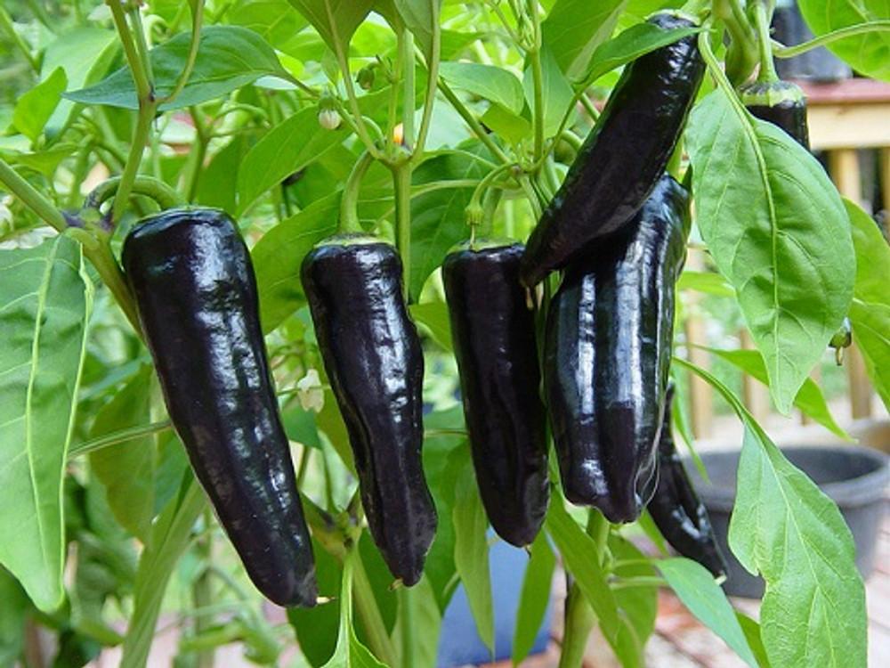 Purple Marconi Sweet Pepper - 10 Seeds