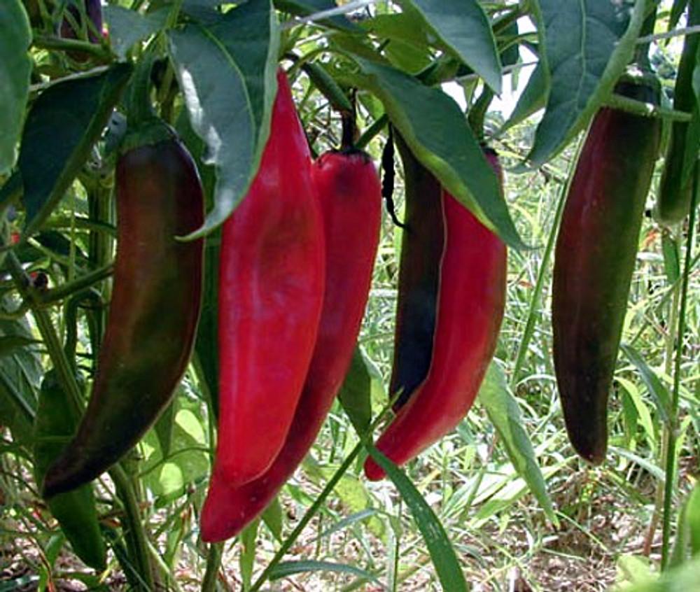 Goliath Griller Pepper - 15 Seeds - Anaheim Type
