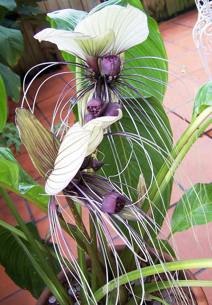 White Bat Plant 8 Seeds - Tacca nivea