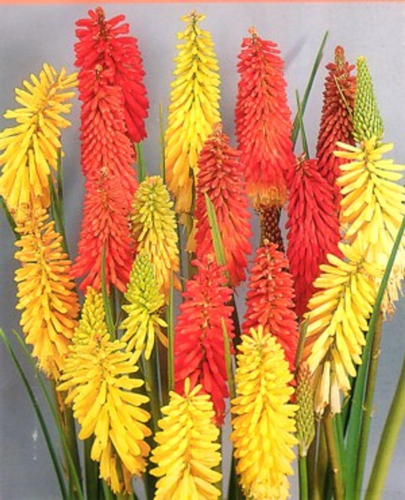 Red Hot Poker Flamenco 30 Seeds - Perennial