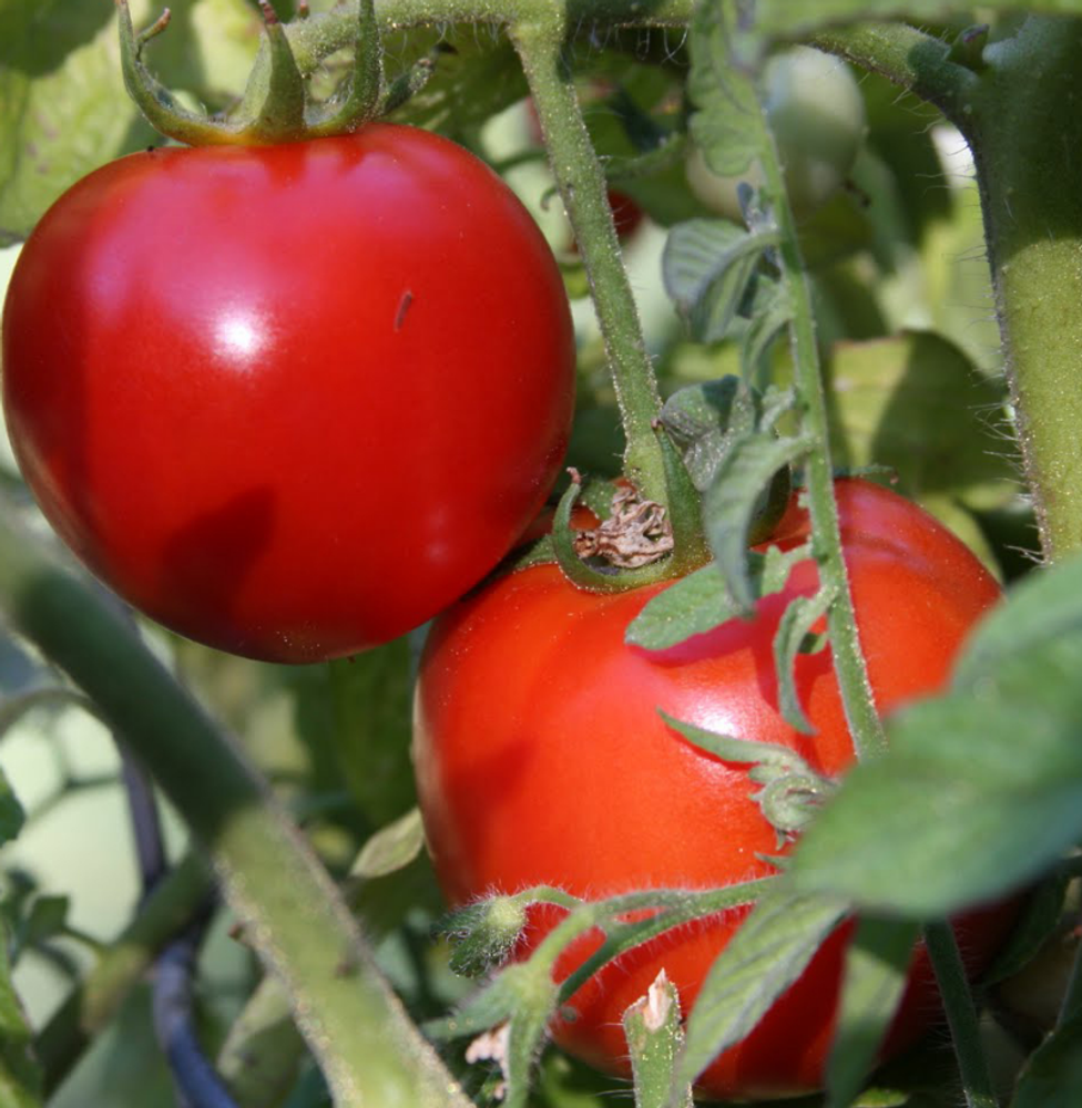 Early Girl Hybrid Tomato 45 Seeds- Blemish Free Skin!
