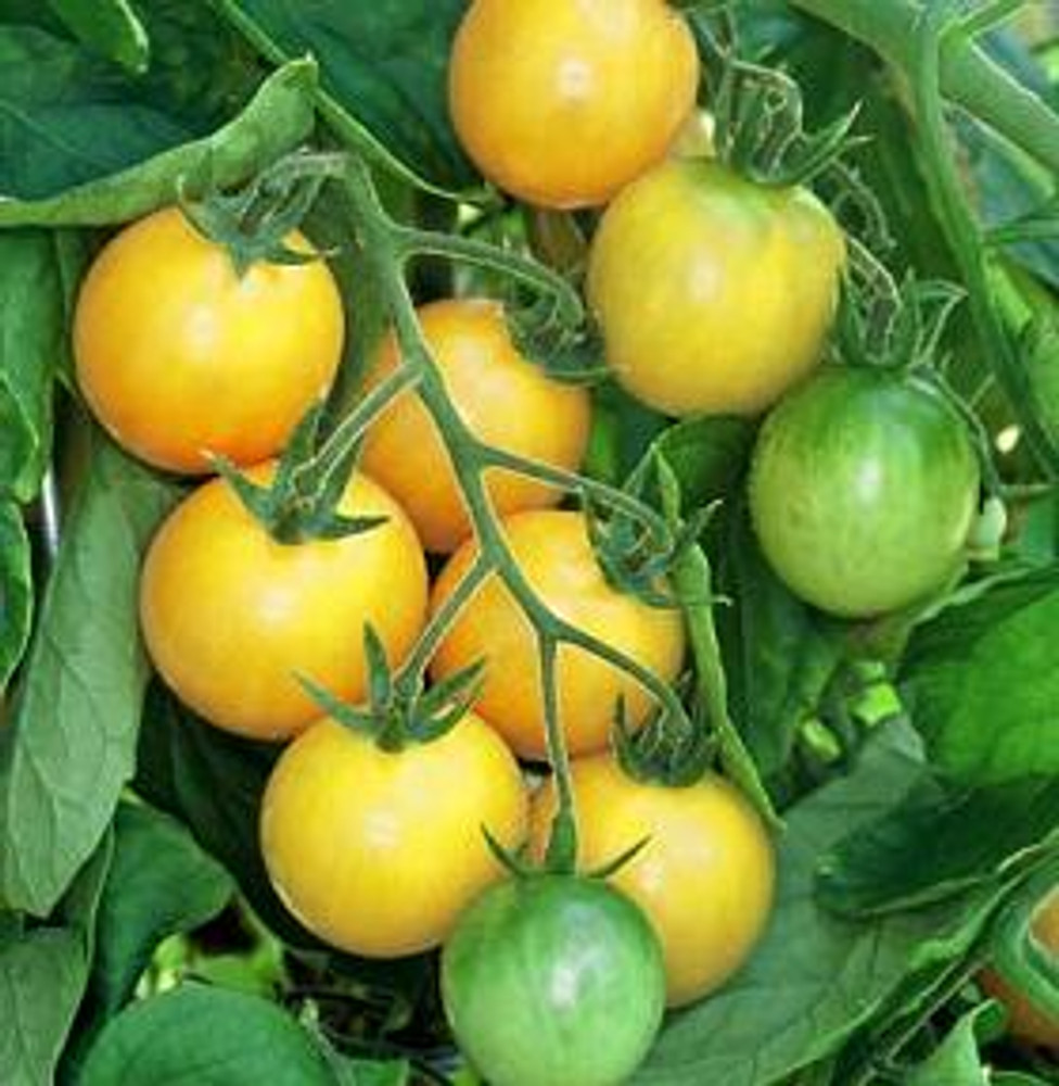 Golden Nugget Cherry Tomato - 20 Seeds