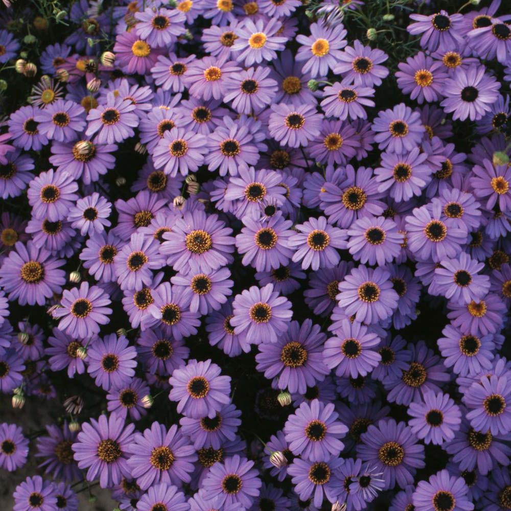 Brachycome Purple Splendour 50 Seeds - Annual