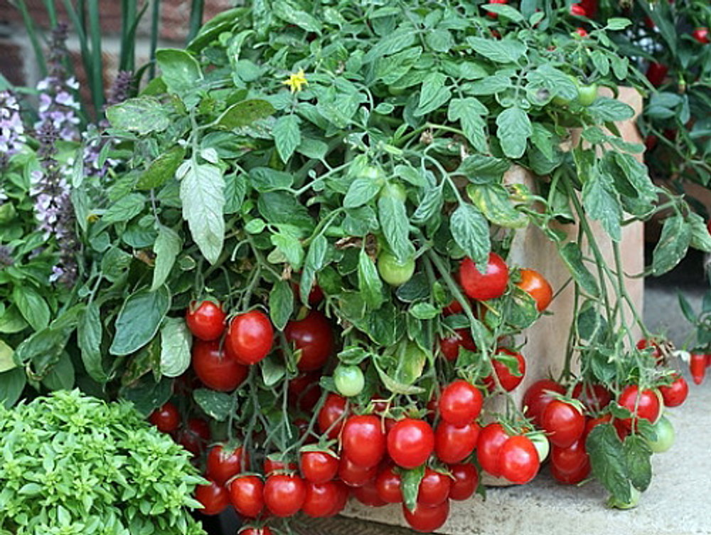 Cherry Falls Tomato - 10 Seeds - Large Cherry Variety
