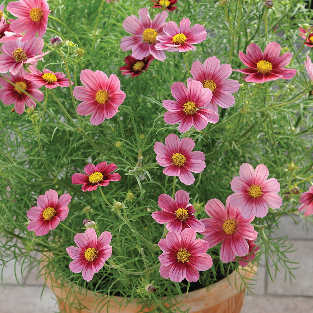 Cosmos Antiquity 40 Seeds - Annual - Rich Burgandy