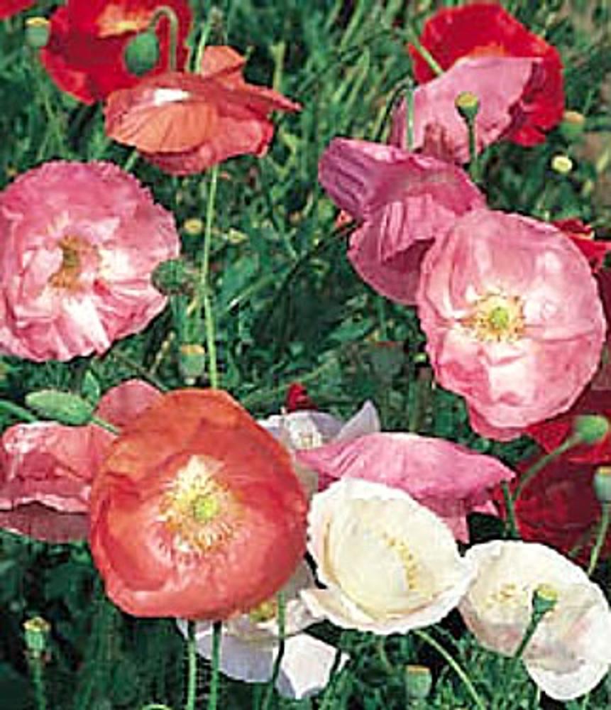 Shirley Poppy - Heirloom 50 Seeds