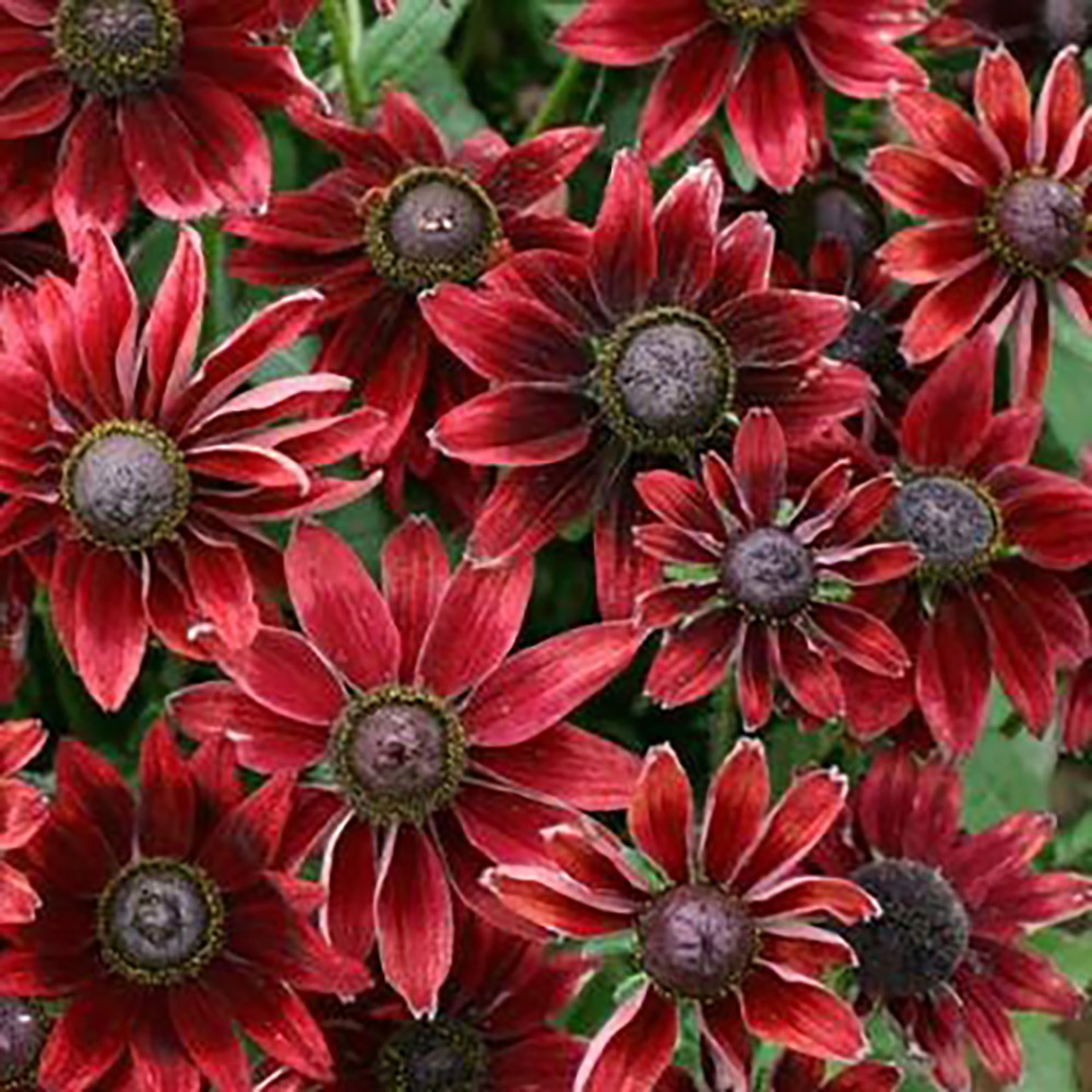 Cherry Brandy Rudbeckia 25 Seeds - 2009 EXCLUSIVE/NEW