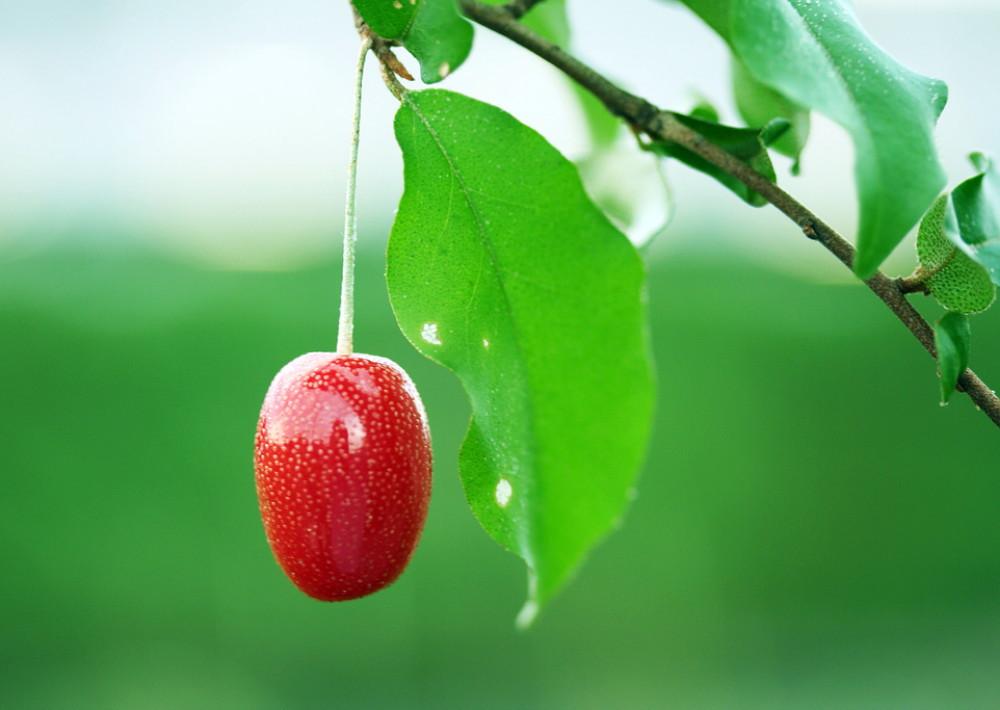 Gumi Fruit 4 Seeds - Elaeagnus multiflora - Rare - Bonsai