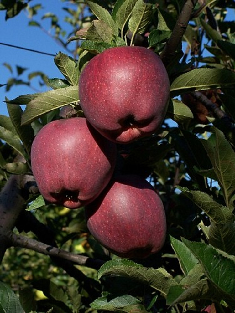 Native Apple Tree 20 Seeds - Be Johnny Appleseed -Malus