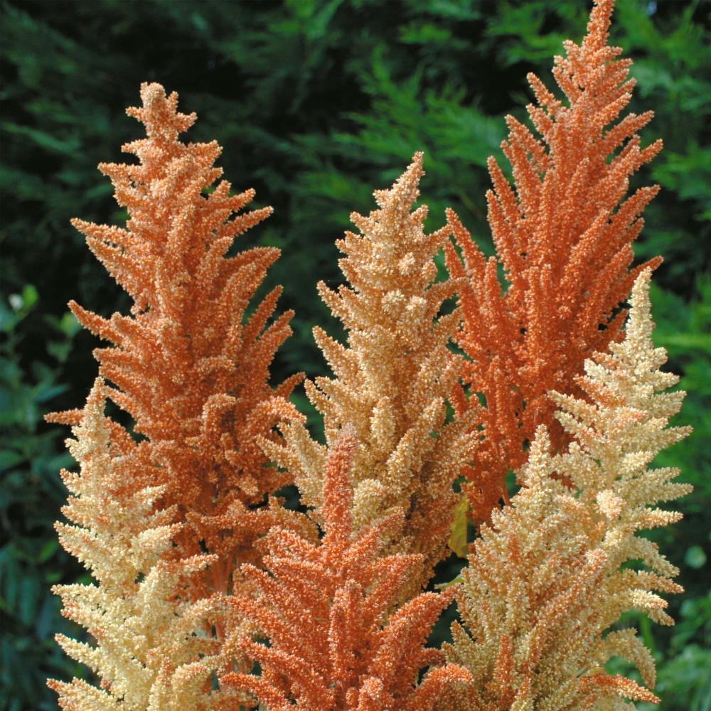 Autumn Palette Princess Feather 100 Seeds-Amaranthus
