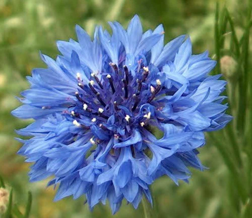 Bachelor Buttons 100 Seeds - Heirloom -Centaurea-Annual
