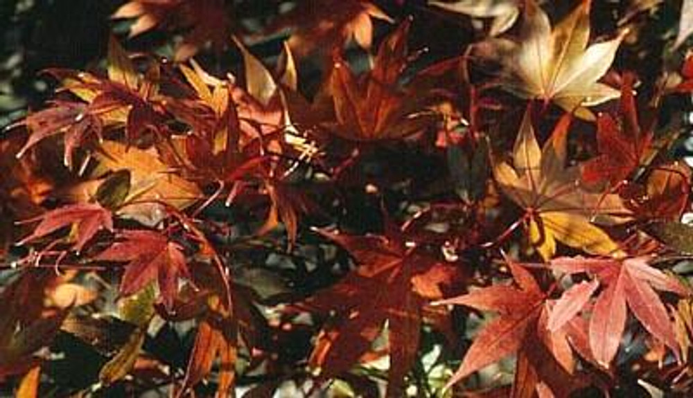 Matsumurae Japanese Maple 15 Seeds - Outdoors or Bonsai