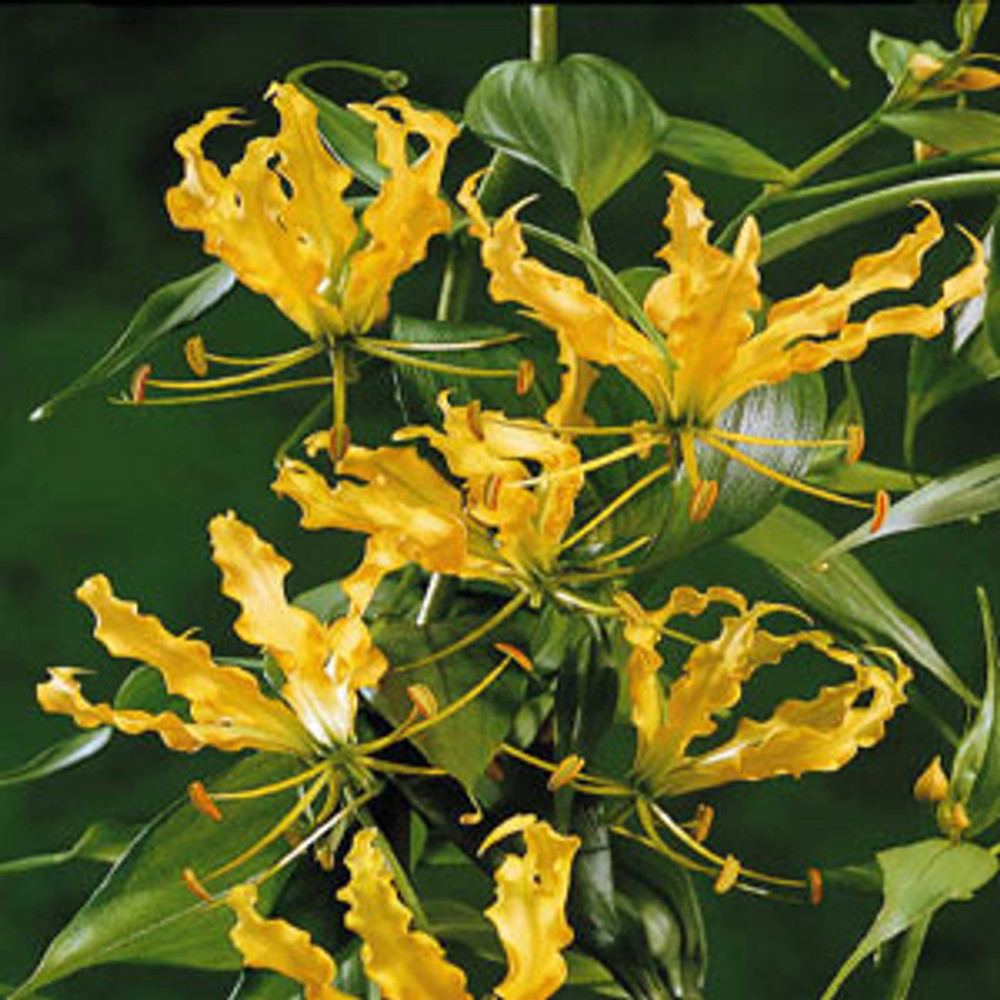 Yellow Gloriosa Lutea 10 Seeds - Indoors or Out