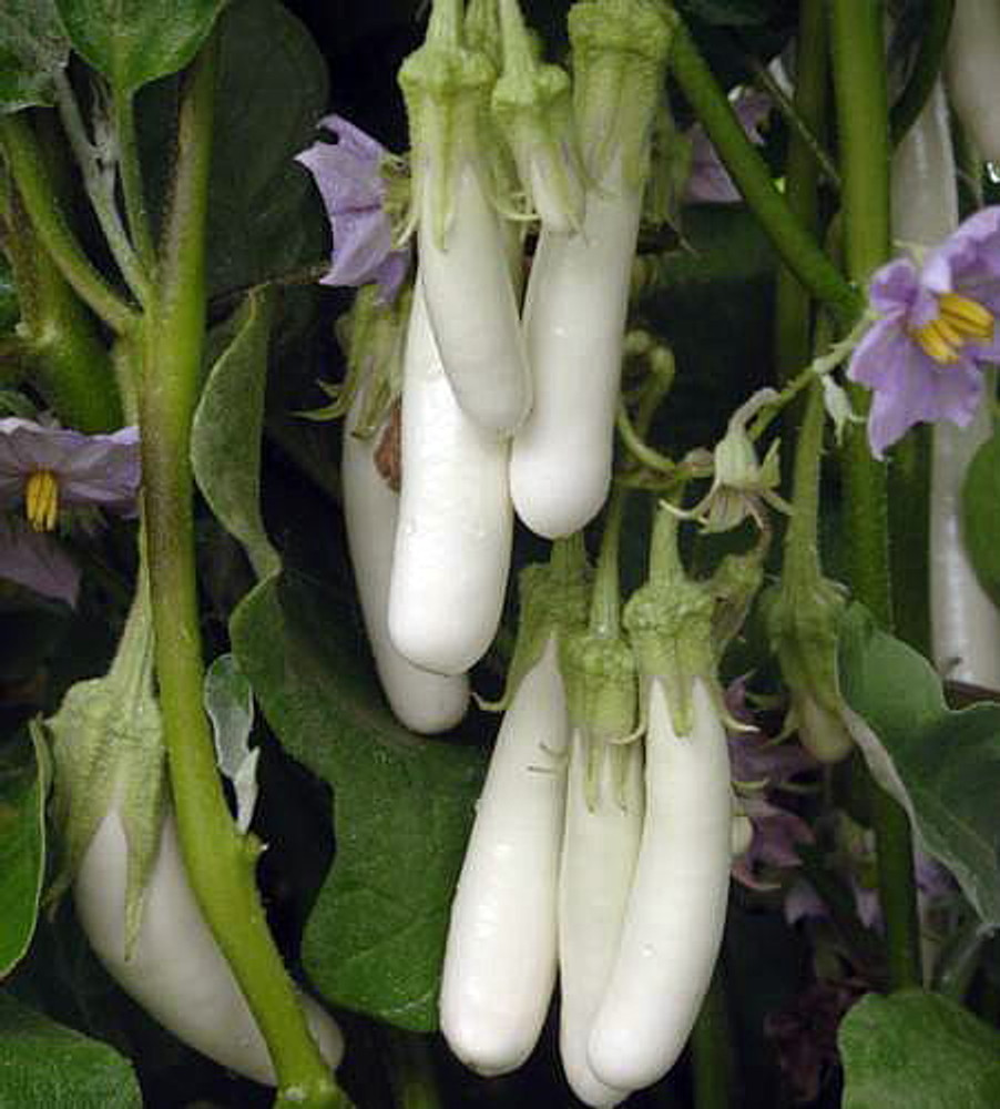 Gretel Eggplant 15 Seeds - 2009 All American Selection Winner