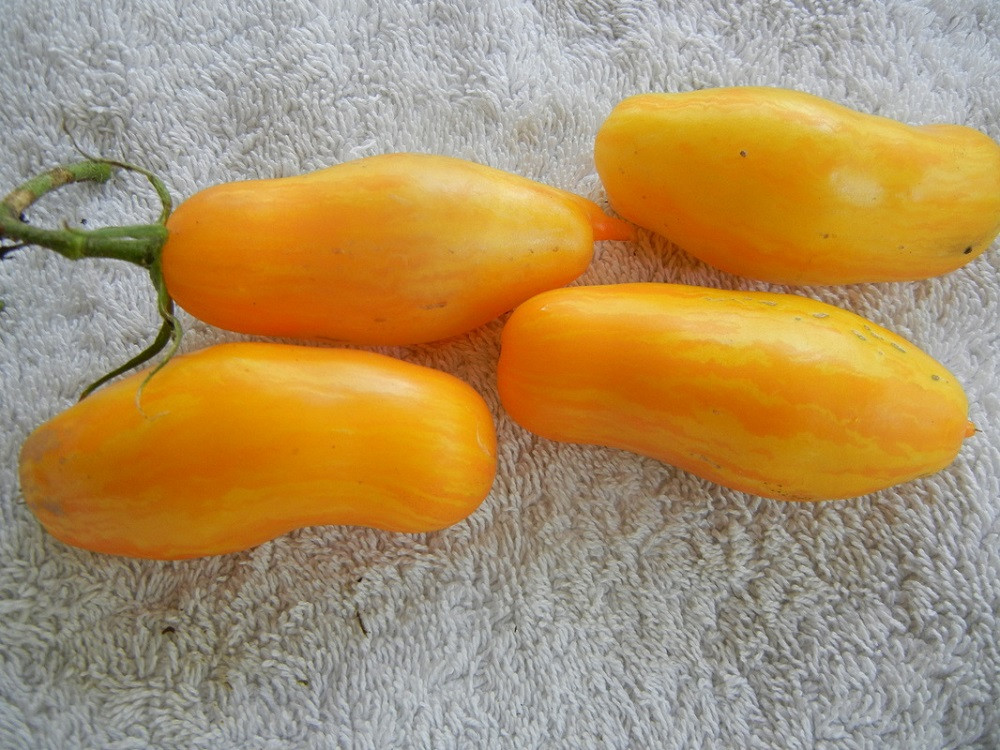 Banana Legs Tomato 15 Seeds- Non Acid