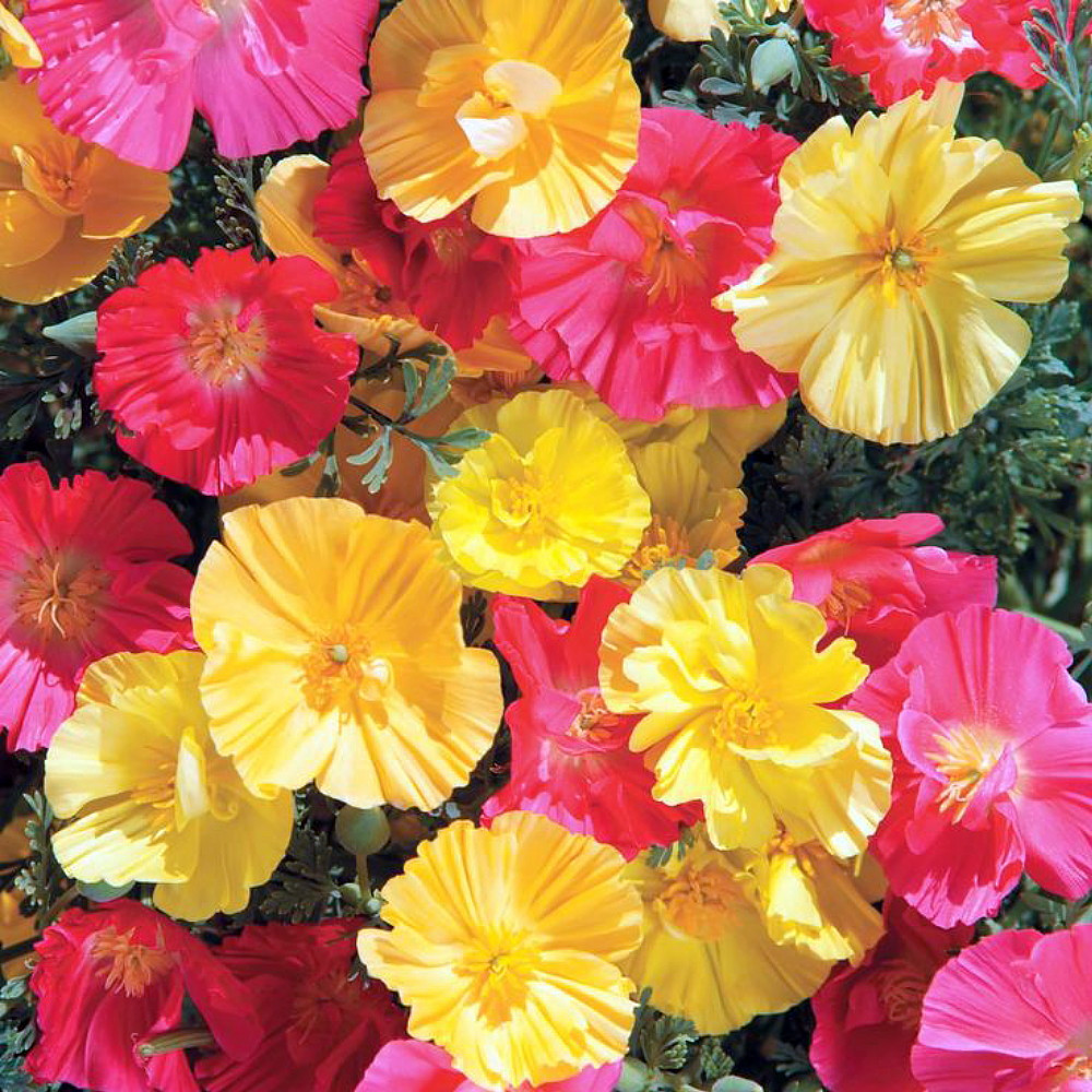Fruit Crush California Poppy 150 Seeds - Annual