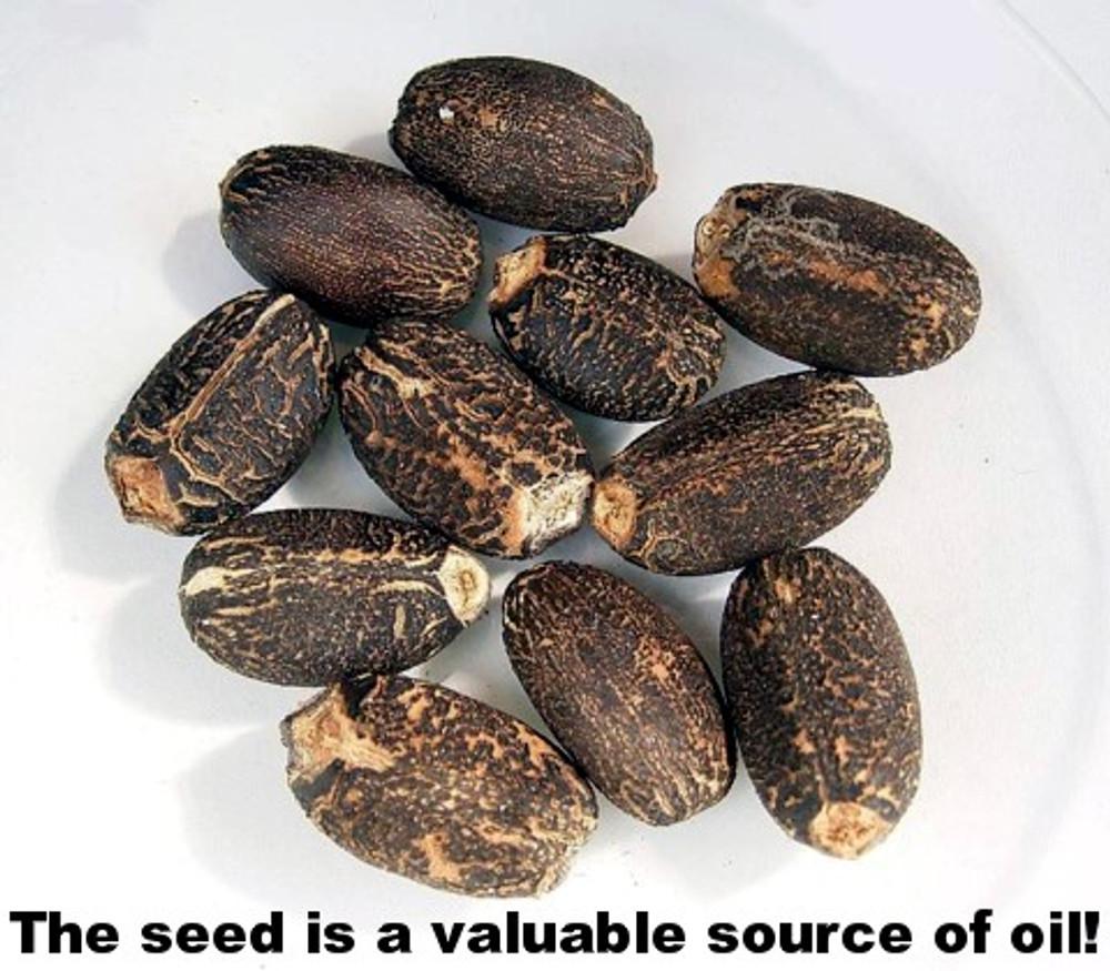 Diesel Fuel Plant - Jatropha - 10 Seeds - SOIL TO OIL!