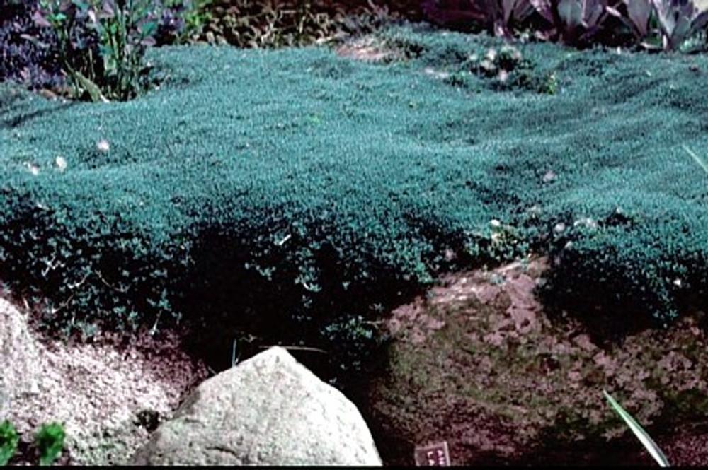 New Zealand Mat Daisy Perennial Plant 10 Seeds -Raoulia