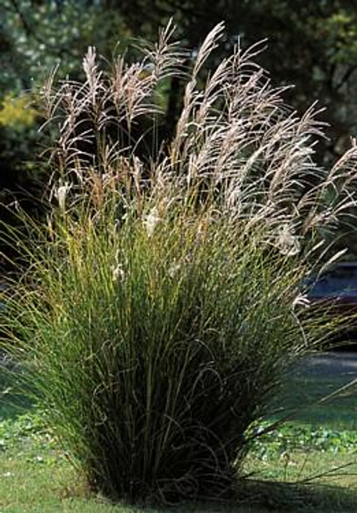 Chinese Silver Grass 25 Seeds - Miscanthus