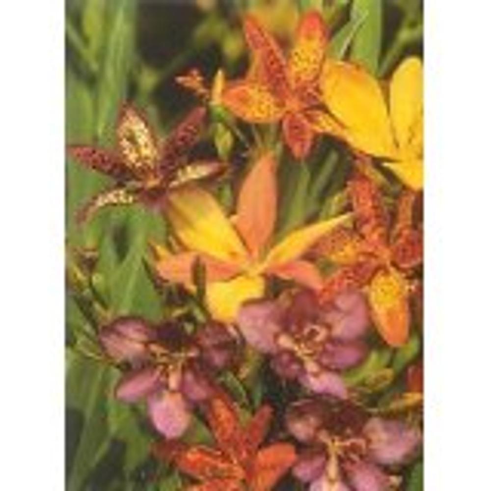 Candy Lily 20 Seeds - Pardancanda