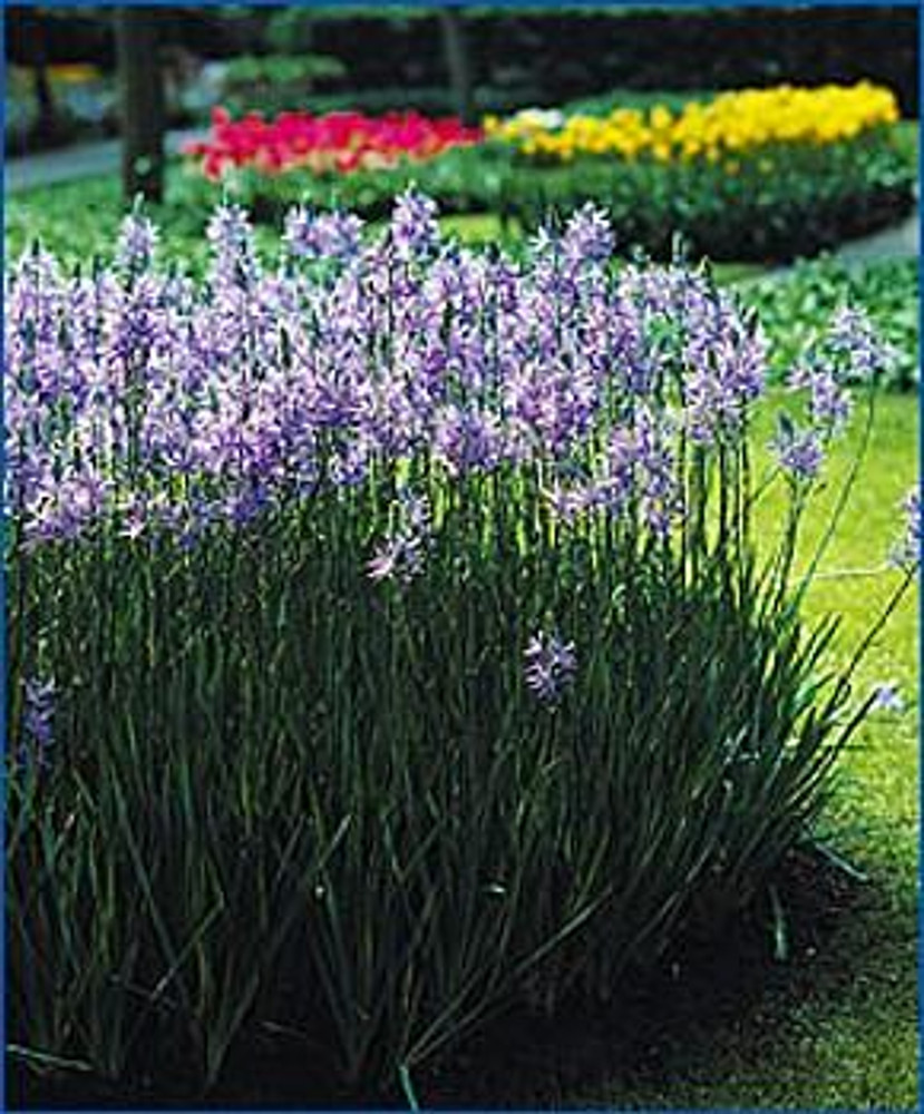 Indian Blue Hyacinth 20 Seeds - Camassia - Perennial