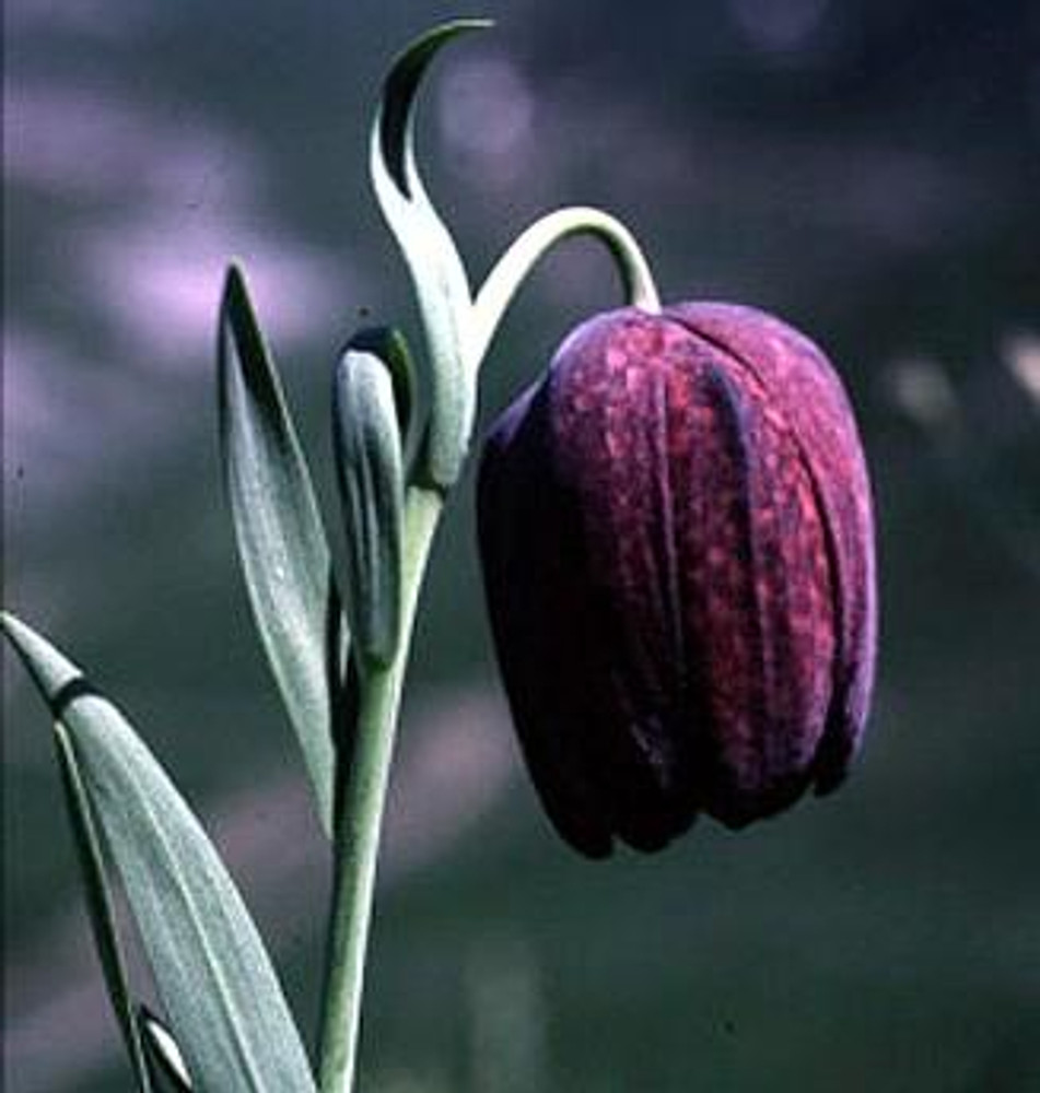 Tube Checkered Lily 10 Seeds - Fritillaria - Perennial