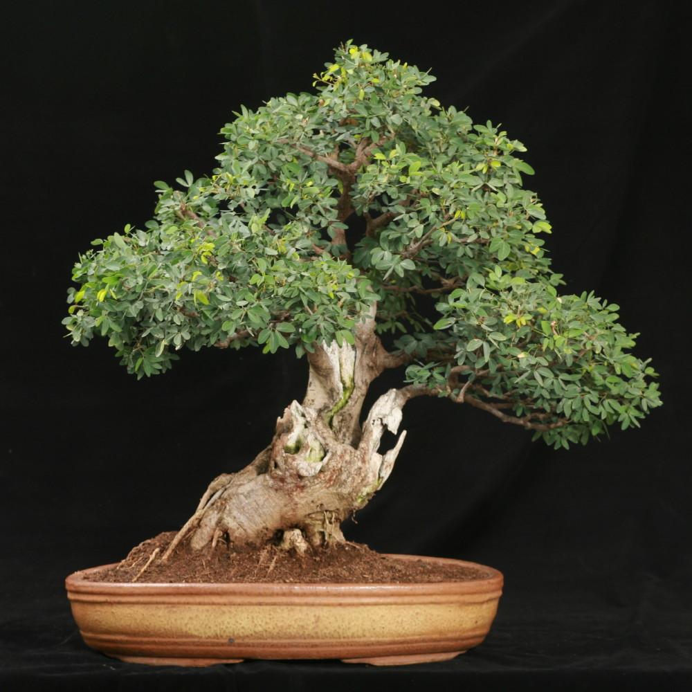 Tamarind Tree 10 Seeds/Seed -Bonsai- Tamarindus indica