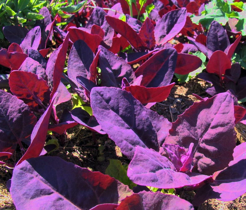Orach Purple Passion Spinach 100 Seeds