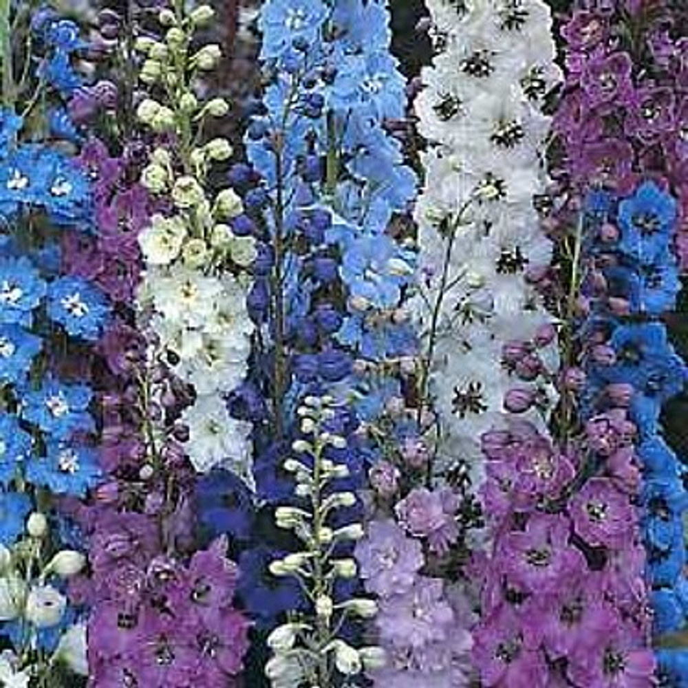 Giant Pacific Delphinium 50 Seeds - Perennial