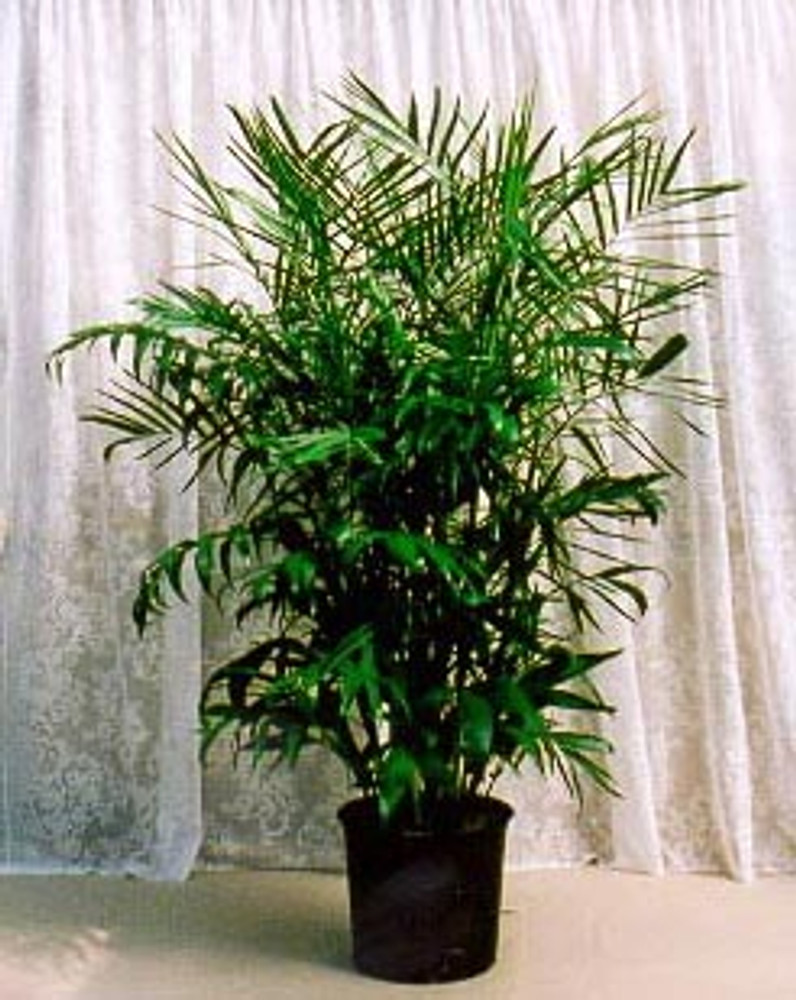 Bamboo Palm 10 Seeds - Chamaedorea florida