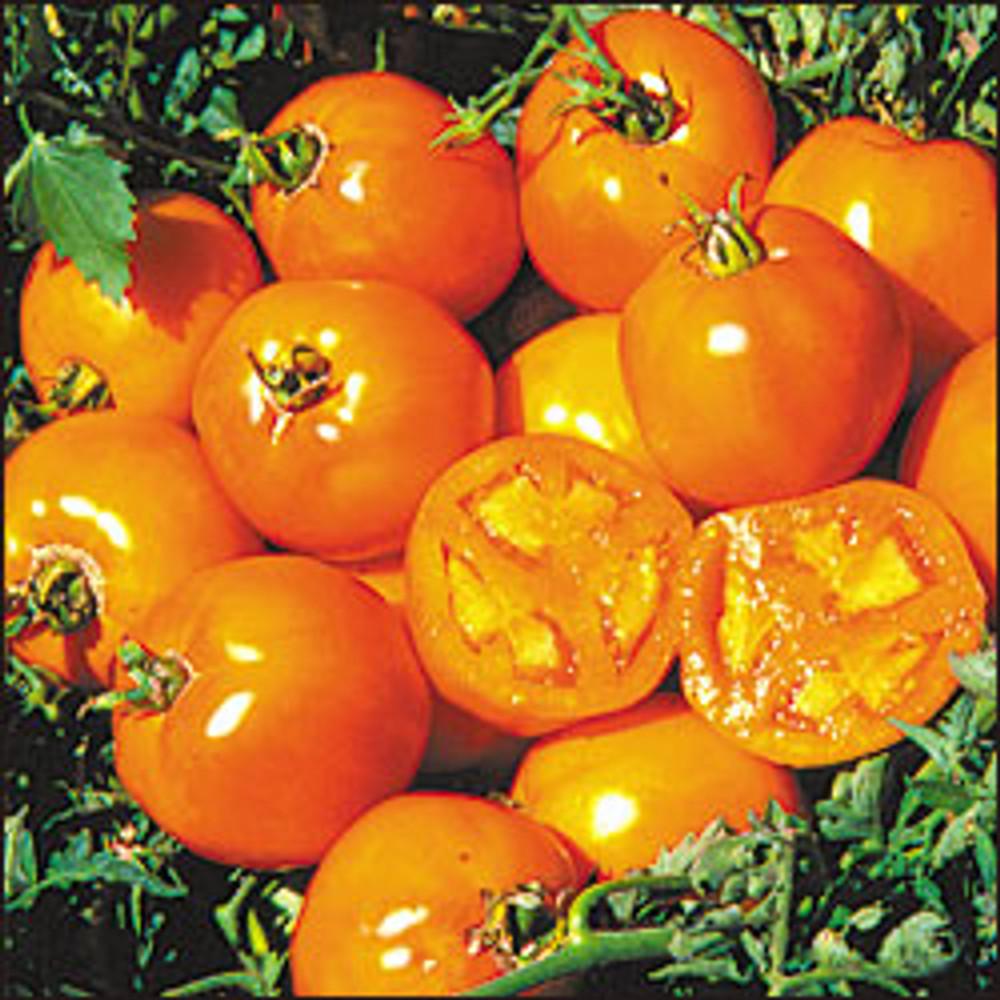 Golden Sunray Tomato - 20 Seeds - Best Yellow