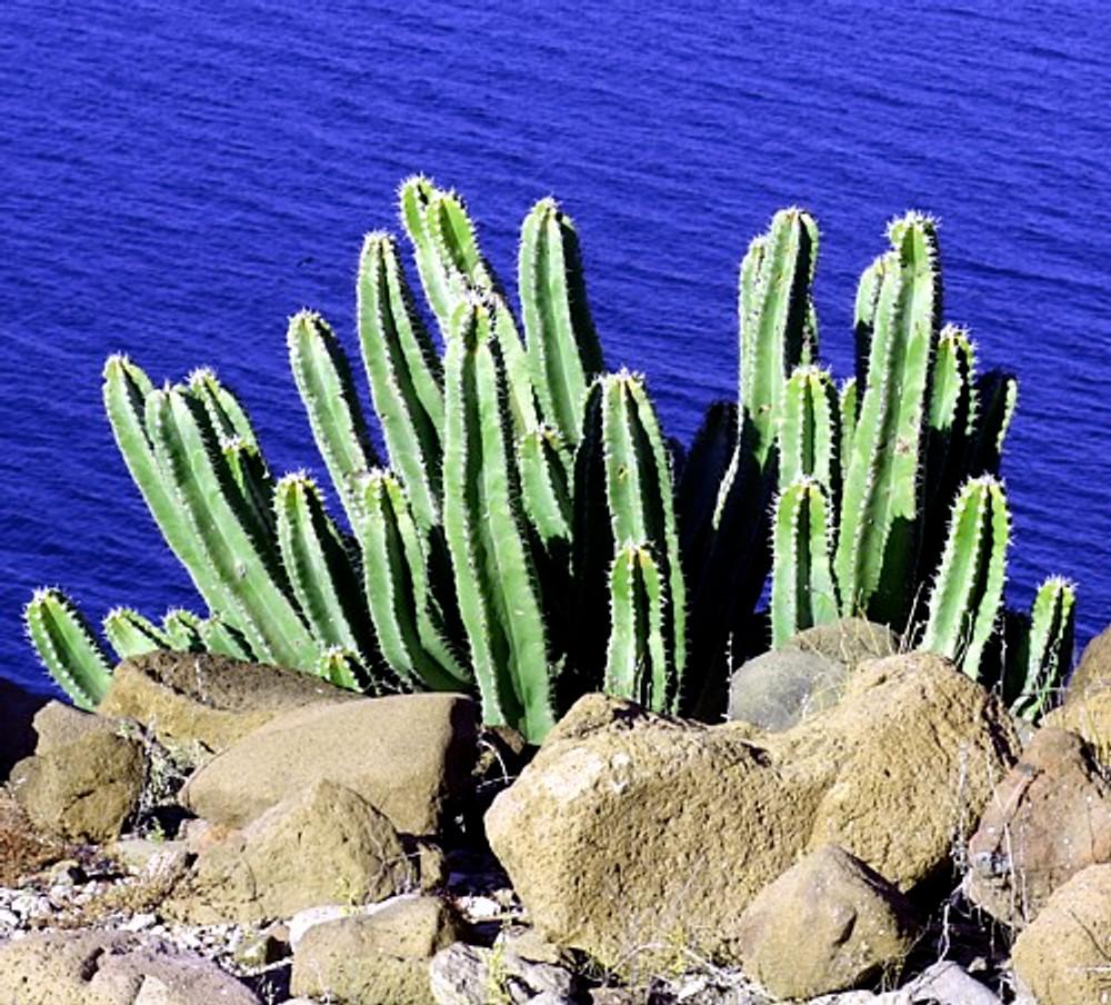Senita Whisker Cactus 15 Seeds - Lophocereus schottii