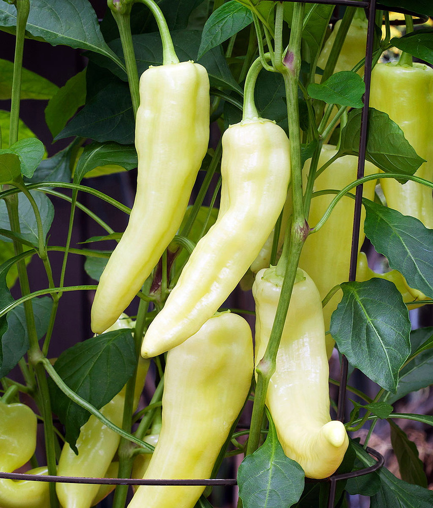 Sweet Banana Pepper - 75 Seeds - GARDEN FRESH PACK!