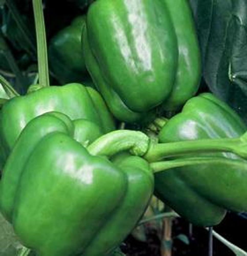 Colossal Sweet Bell Pepper - 10 Seeds - Huge Fruits